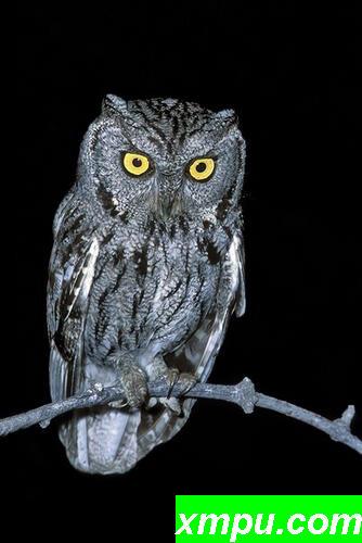 西方斯克里奇鸮