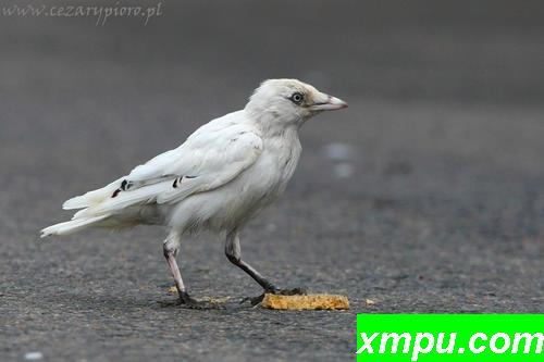 寒鸦(乌鸦monedula)