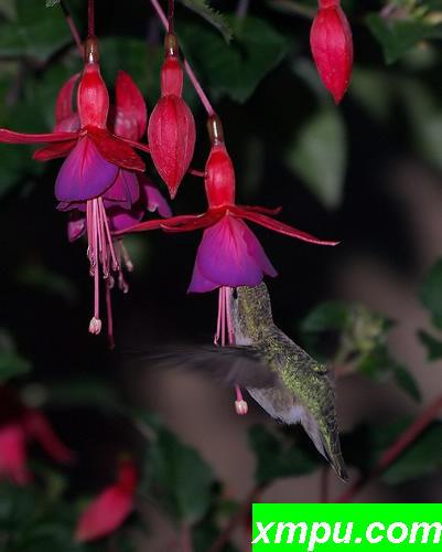 褐色蜂鸟与花