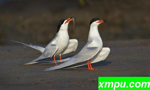 """燕鸥的求偶喂食祭"""""""