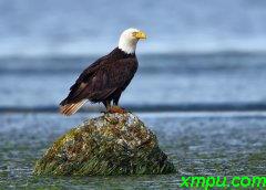 惠德贝岛秃鹰