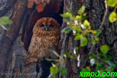 托尼鸮(Strix aluco) )