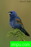 美国著名摄影大师布赖恩E.小作品系列之--蓝雀