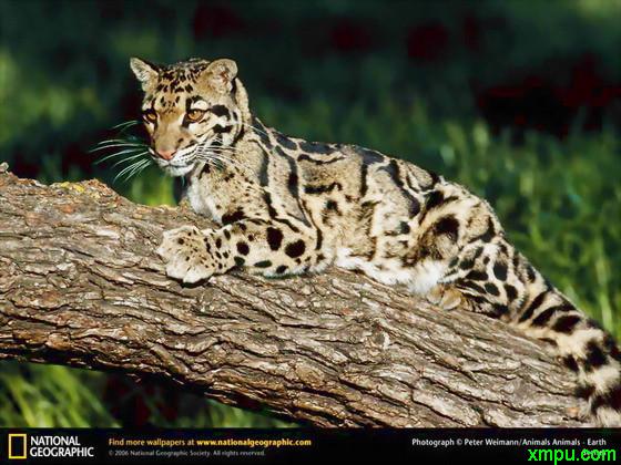方形动物小头像老虎