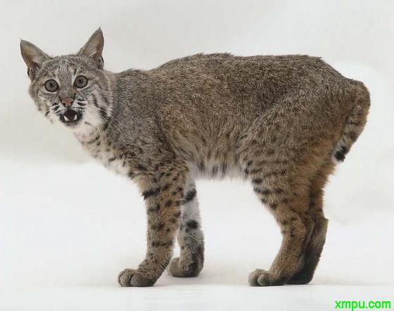 北美洲数量最多的猫科动物--短尾猫