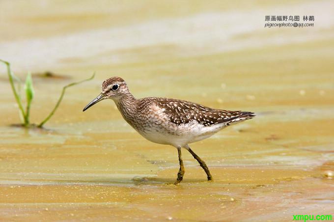 青脚鹬叫声_【鸟类介绍】林鹬(lin yu)-12_鸟类大全-动植物