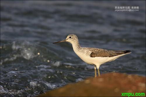 青脚鹬叫声_【鸟类介绍】青脚鹬(qing jiao yu)-68_鸟类大全-动植物
