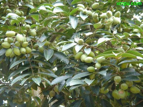 云南橄榄树图片