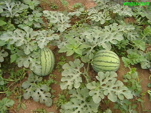而是自然的二倍体西瓜跟经过诱变产生的四倍体杂交后