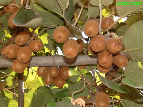 猕猴桃种类-动植物网