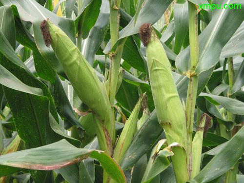 恐龙图片大全和名字_玉米图片_玉米种植_玉米种类-动植物