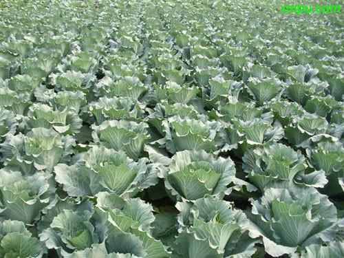 冬季蔬菜大全_紫甘蓝图片_紫甘蓝种植_紫甘蓝种类-动植物