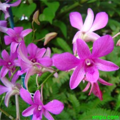 石斛 紫色