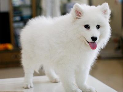 银狐犬.jpg