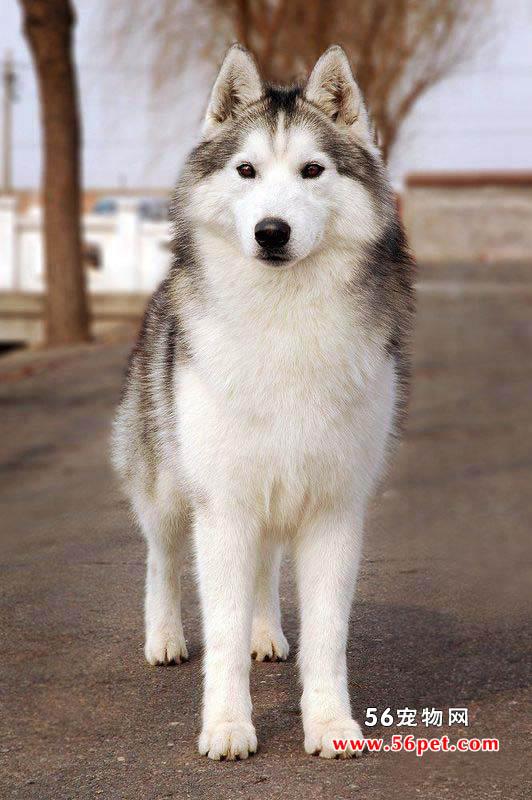 西伯利亚雪橇犬哈士奇