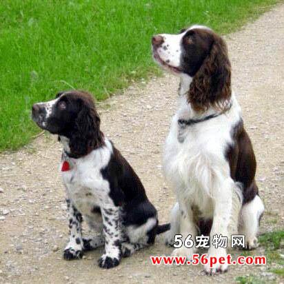 可卡犬(英国可卡犬)-狗狗品种介绍