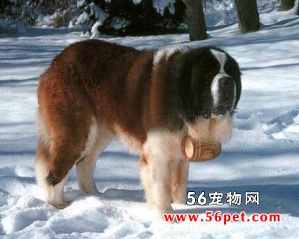 圣伯纳犬-狗狗品种介绍