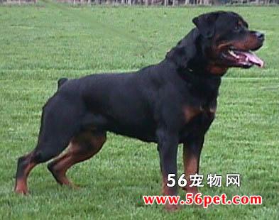 罗威纳犬-狗狗品种介绍