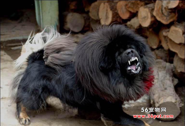 藏獒-狗狗品种介绍
