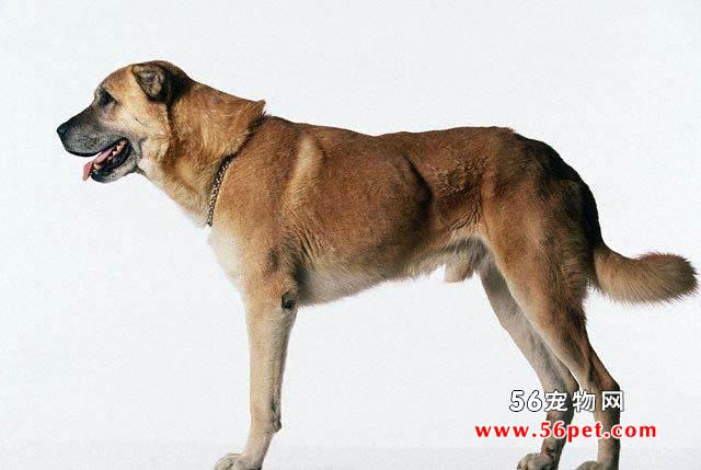 安娜图牧羊犬-狗狗品种介绍