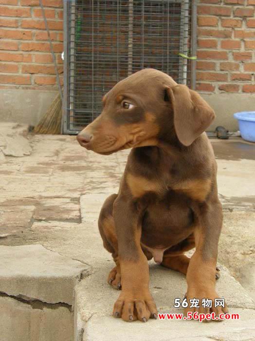 杜宾犬-狗狗品种介绍