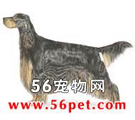 哥顿雪达-狗狗品种介绍