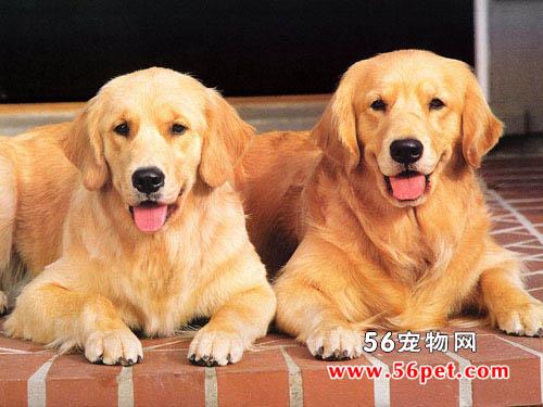 宠物犬的种类_宠物狗的种类图片_小型宠物狗