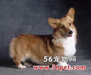威尔士柯基(彭布洛克)-狗狗品种介绍