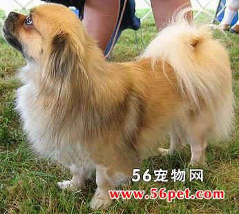 西藏猎犬-狗狗品种介绍