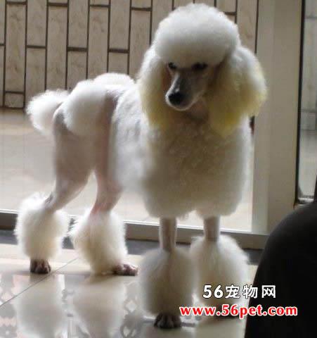 贵宾犬-狗狗品种介绍