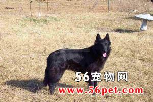 比利时牧羊犬-狗狗品种介绍