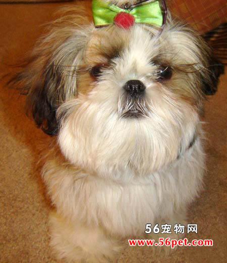 西施犬-狗狗品种介绍