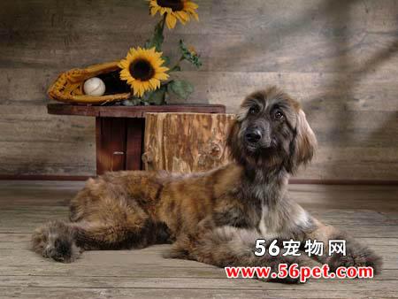 阿富汗猎犬-狗狗品种介绍