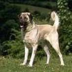 安娜图牧羊犬