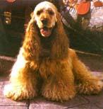 可卡犬(美国可卡犬)