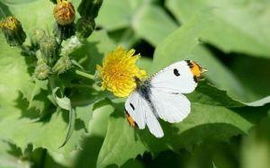 黄尖襟粉蝶