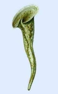 多态喇叭虫