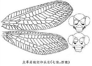 大草蛉的翅和头斑