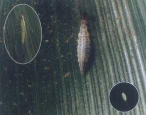 大草蛉的卵和蛹