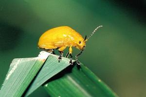 大黄金花虫