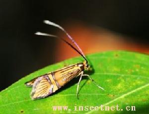 (图)大黄长角蛾