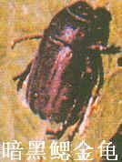 暗黑鳃金龟
