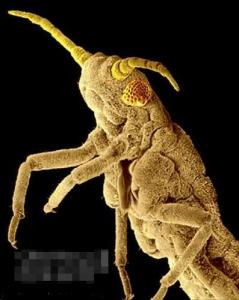 俄罗斯小麦蚜虫