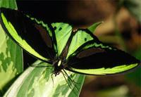 绿鸟翼凤蝶