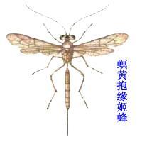 螟黄抱缘姬蜂
