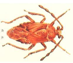 (图)可可褐盲蝽