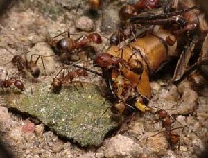 尼科巴弓背蚁