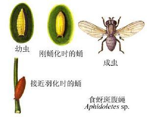 食蚜斑腹蝇