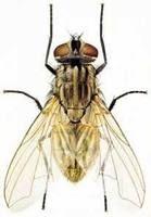 双翅目蝇科