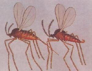 双翅目瘿蚊科
